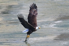 Eagle, Eagles, Bald Eagle, Bald Eagles, Maryland, Images of Bald Eagles, Bald Eagle Photos