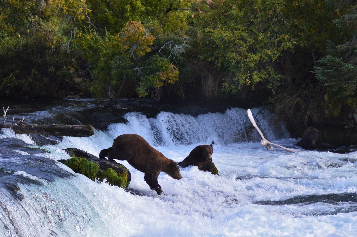 Grizzly, Brown Bears, Alaska, Brooks Falls, Brown Bear, Katmai, Salmon, Images of Brown Bears Brown Bear photos