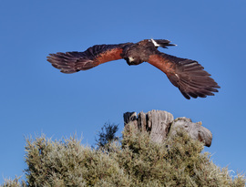 Hawk, Harris Hawk, Hawks, Harris Hawks, Colorado, Harris Hawk Photos, Images of Harris Hawks