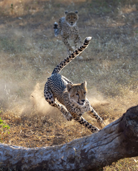 Cheetah, Cheetahs, Botswana, Images of Cheetahs, Cheetah Photos