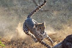 Cheetah, Cheetahs, Botswana, Images of Cheetahs, Cheetah Photos