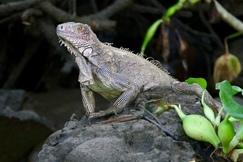 Iguana, Iguanas, Costa Rica, Images of Iguanas, Iguana Photos