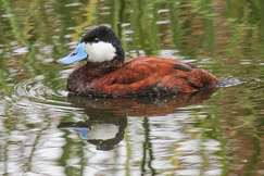 Ducks, Duck, Ruddy Duck, Ruddy Ducks, California, Ballona Wetlands, Images of Ruddy Ducks, Ruddy Duck Photos, Birding