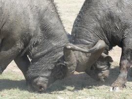 Cape Buffalo, Buffalo, Amboseli National Park, Kenya, Images of Cape Buffalo, Cape Buffalo Photos