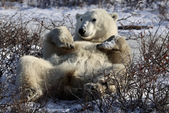 Polar Bears, Polar Bear, Churchill, Manitoba, Polar Bear Images, Photos of Polar Bears