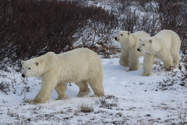 Polar Bears, Polar Bear, Churchill, Manitoba, Polar Bear Family, Images of Polar Bears, Polar Bear Photos