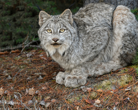 Lynx, Canada, Lynx Images, Photos of Lynx