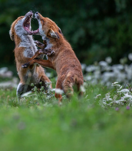 Foxes, Red Foxes, Red Fox, Great Britain, Images of Red Foxes, Re Fox Photos