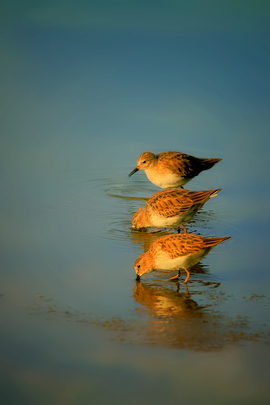 Shorebirds, Shorebird, Florida, Images of Shorebirds, Shorebird Photos. Birding