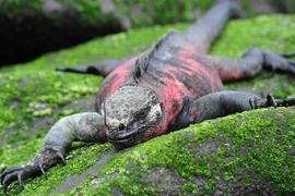 Grid marine iguana souders