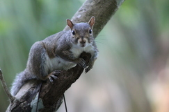 Squirrel, Squirrels, Florida, Images of Squirrels, Squirrel Photos