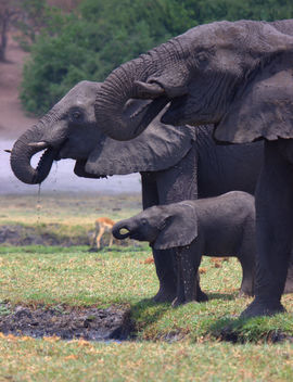 Elephant, Elephants, Botswana, South Africa, Images of Elephants, Elephant Photos