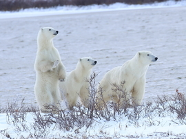 Bears, Polar Bear, Polar Bears, Churchill, Canada, Photos of Polar Bears, Polar Bear Images