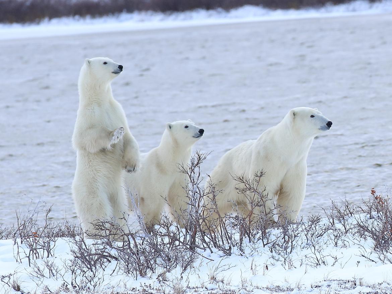 Bears, Polar Bear, Polar Bears, Churchill, Canada, Photos of Polar Bears, Polar Bear Images