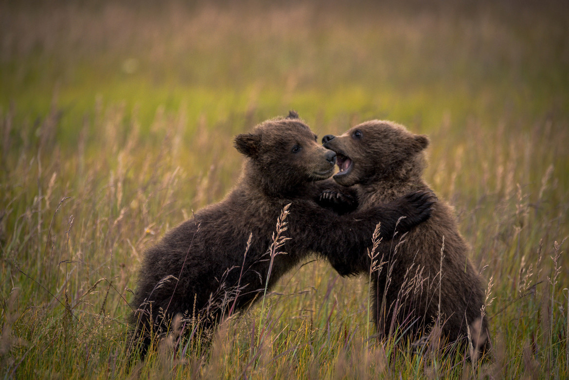 Brown Bears, Bears, Brown Bear, Alaska, Images of Brown Bears, Brown Bear Photos