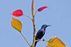 Purple Sunbird, Sunbird, Sunbirds, India, Images of Sunbirds, Purple Sunbird Photos