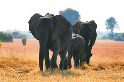 Elephants, Elephant, Botswana, Africa, Images of Elephants, Elephant Photos