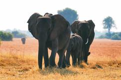 Elephants, Elephant, Botswana, Africa, Images of Elephants, Elephant Photos