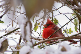 Grid cardinal in the snow best shot