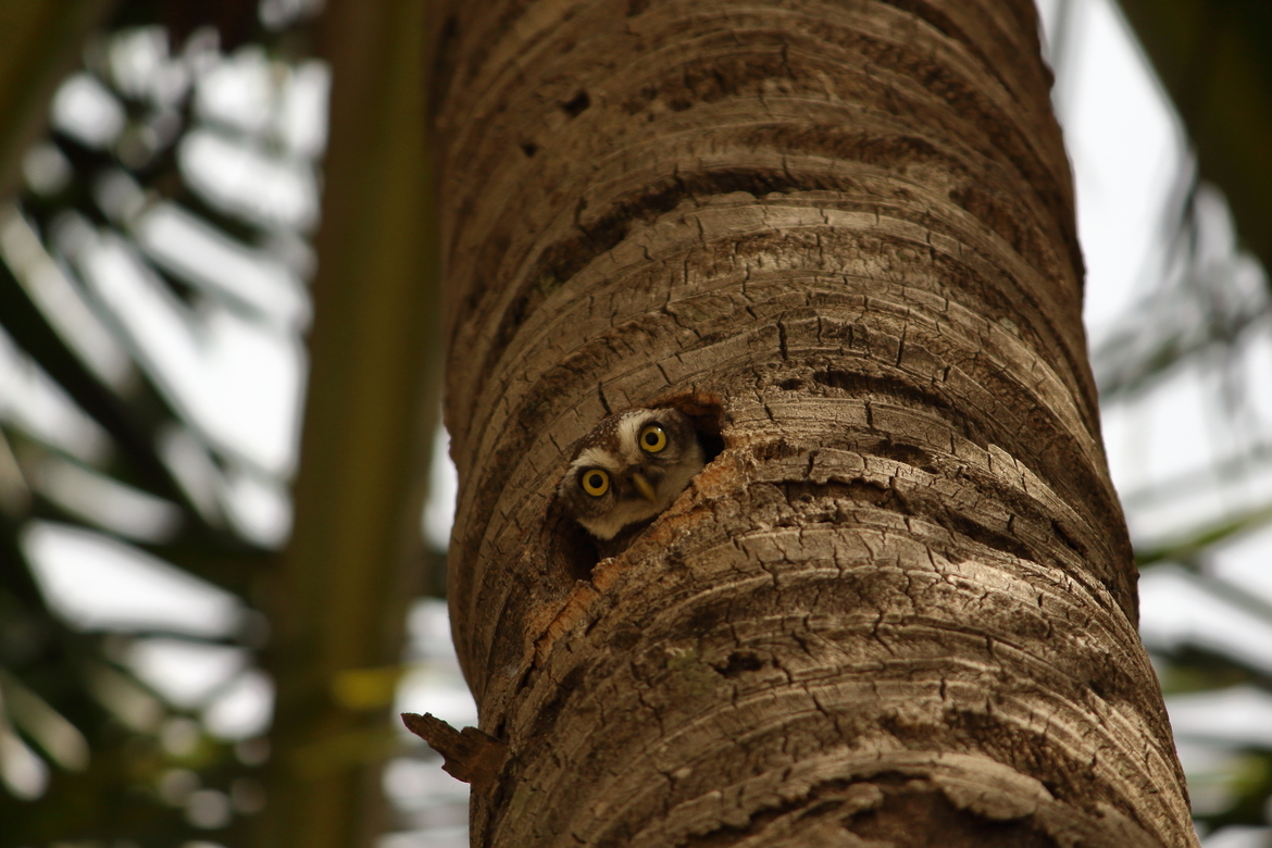 Spotted Owl, Owl, Spotted Owls, India, Images of Spotted Owls, Spotted Owl Photos