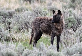 Wolf, Wolves, Yellowstone, Wyoming, Images of Wolves, Wolf Photos. Wild Wolves