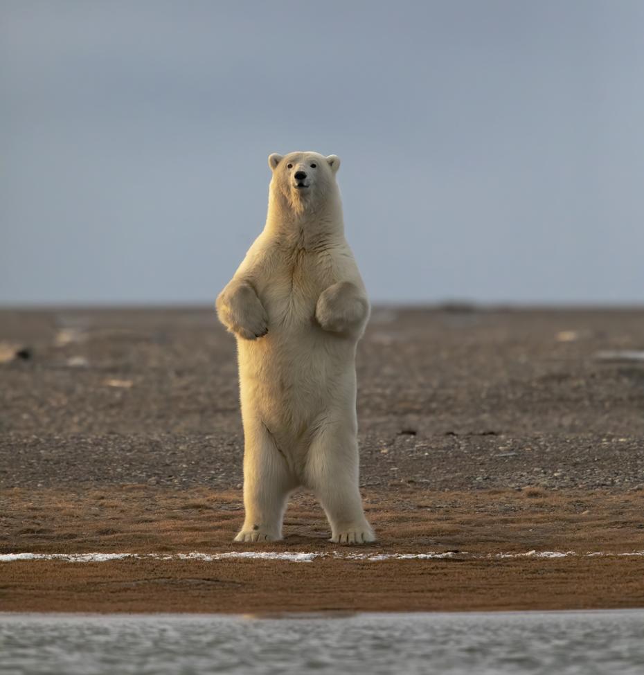 Bears, Bear, Polar Bears, Polar Bear, Alaska, Images of Polar Bears, Polar Bear Photos