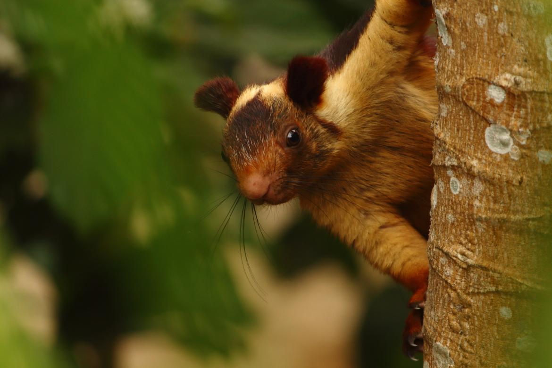 Squirrel, Squirrels, Malabar Giant Squirrel, India, Images of Malabar Giant Squirrels, Malabar Giant Squirrel Photos