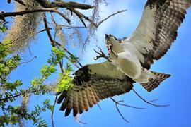 Osprey, Ospreys, Birding, Florida, Seminole County, Images of Ospreys, Osprey Photos