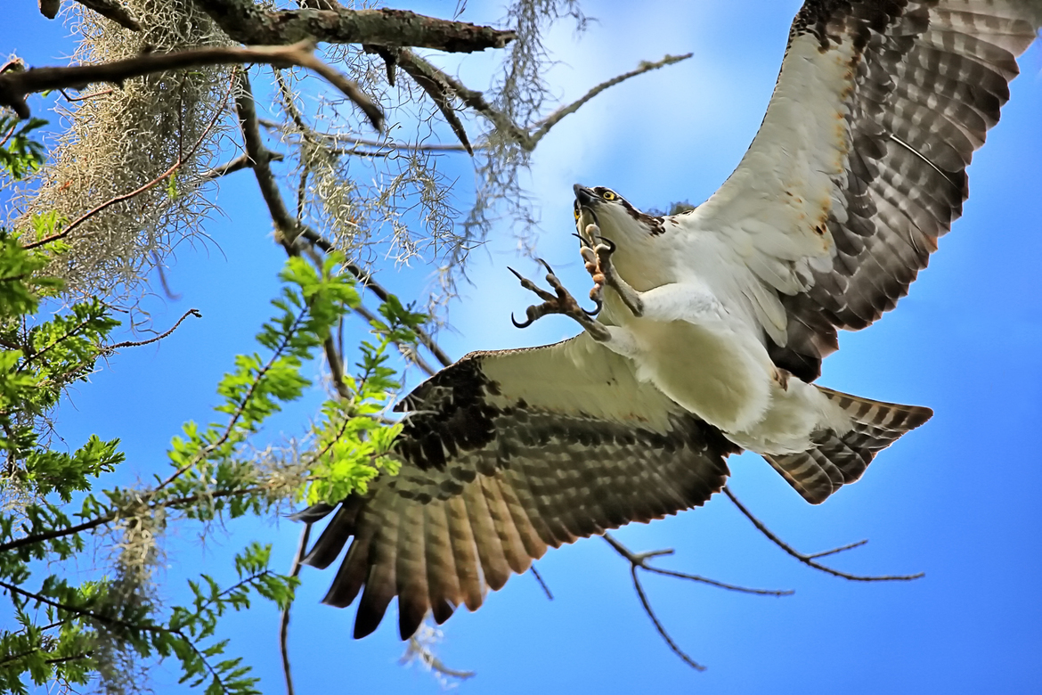 Osprey, Ospreys, Birding, Florida, Seminole County, Images of Ospreys, Osprey Photos