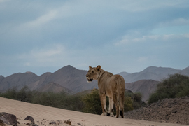 Lion, Lions, Namibia, Hoanib River, Images of Lions, Lion Photos