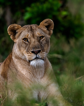 Lion, Lioness, Lions, Kenya, Images of Lions, Lioness Photos