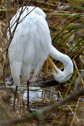 Great Egret , Chincoteague National Park, United States