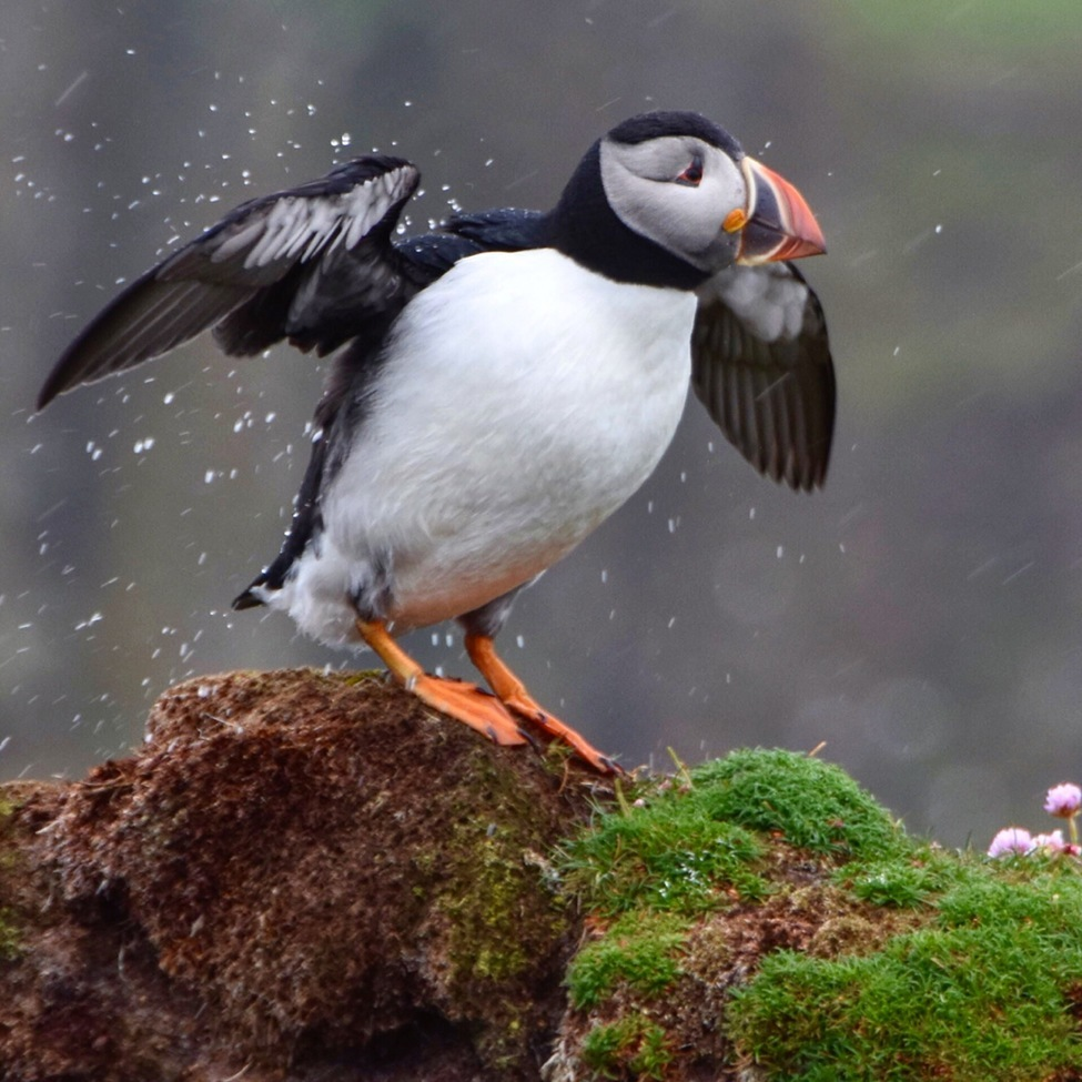 Puffin, Puffins, Fair Isla, Scotland, Images of Puffins, Puffin Photos