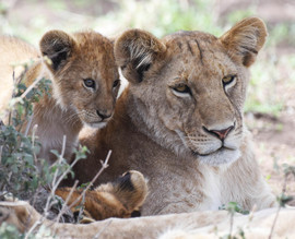 Lions, Lion, Lion Cub, Tanzania, Photos of Lions, Lion Images