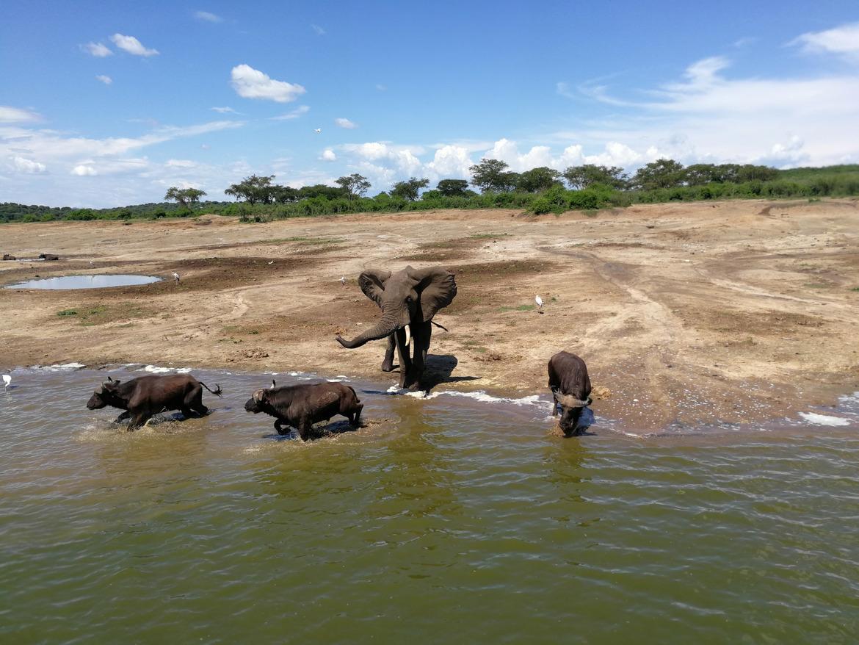 Elephant, Elephants, Buffalo, Buffalos, Uganda, Photos of Buffalos Elephant Images, Queen Elizabeth National Park