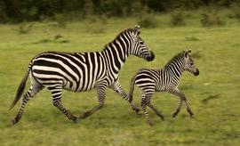 Zebra, Africa, Tanzania, Tanzania wildlife, zebras in Tanzania, photos of zebras, zebra images, African safari, African safari images