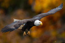 Bald Eagle, Bald Eagles, Eagle, Eagles, Virginia, Birding, Images of Eagles, Bald Eagle Photos