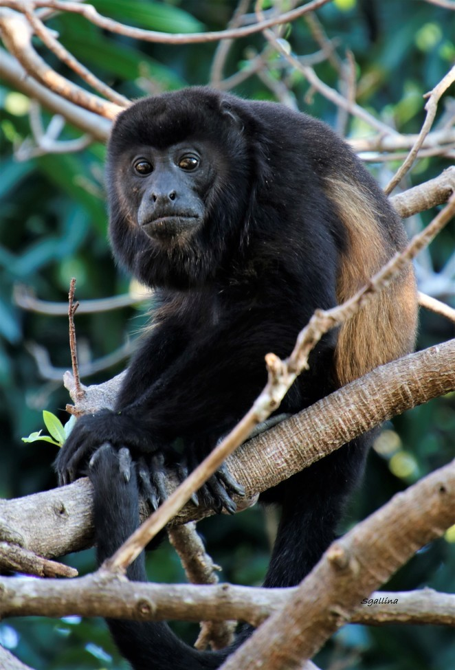Monkey, Howler Monkey, Howler Monkey, Images of Howler Monkeys, Howler Monkey Photos, India