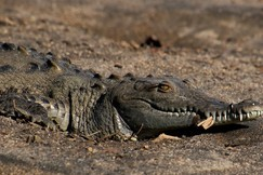 Crocodile, Crocodiles, Costa Rica, Images of Crocodiles, Crocodile Photos
