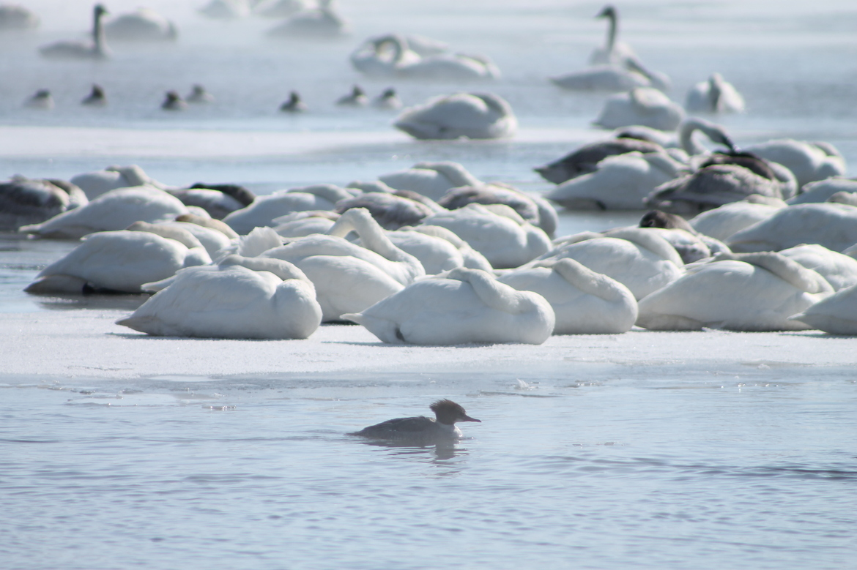 Trumpeter Swans, Swan, Swans, Common Merganzer, Minnesota, Trumpeter Swan, Birding, Swan photos, Images of Trumpeter Swans
