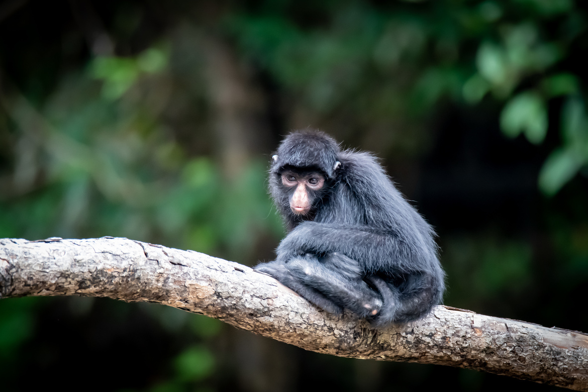 Spider Monkey, Monkey, Spider Monkeys, Monkey photos, Images of Spider Monkeys, Peru