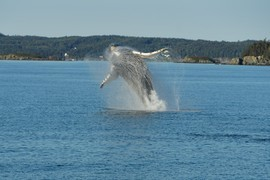 Humpback, Humpback Whales, Whales, Whale, New Brunswick, Canada, Photos of Whales, Whale Images