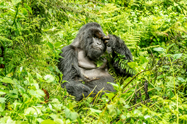 Primates, Gorilla, Gorillas, Mountain Gorilla, Mountain Gorillas, Uganda. Impenetrable Forest, Photos of Gorillas, Gorilla Images