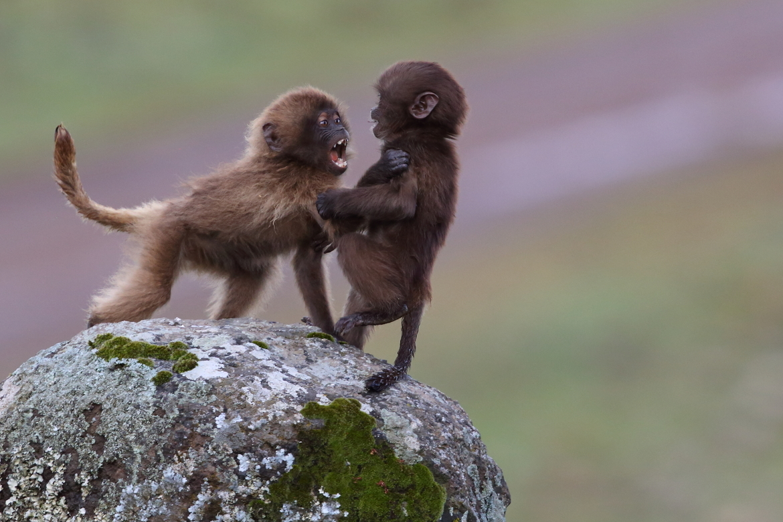 Gelada, Geladas, Ethiopia, Simien Mountain National Park, Images of Geladas, Gelada Photos