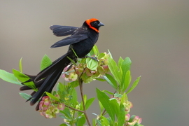Red-Collared Widowbird, Widowbird, Birding, Ethiopia, Widowbirds