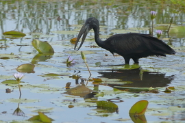African Open Billed Stork, Stork, Storks, Ethiopia, Birding, Blue Nile Falls, Photos of Open Billed Storks, Stork Images