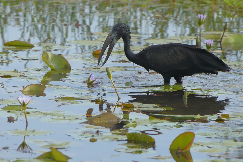 African Open Billed Stork, Stork, Storks, Ethiopia, Birding, Blue Nile Falls, Photos of Open Billed Storks, Stork Images