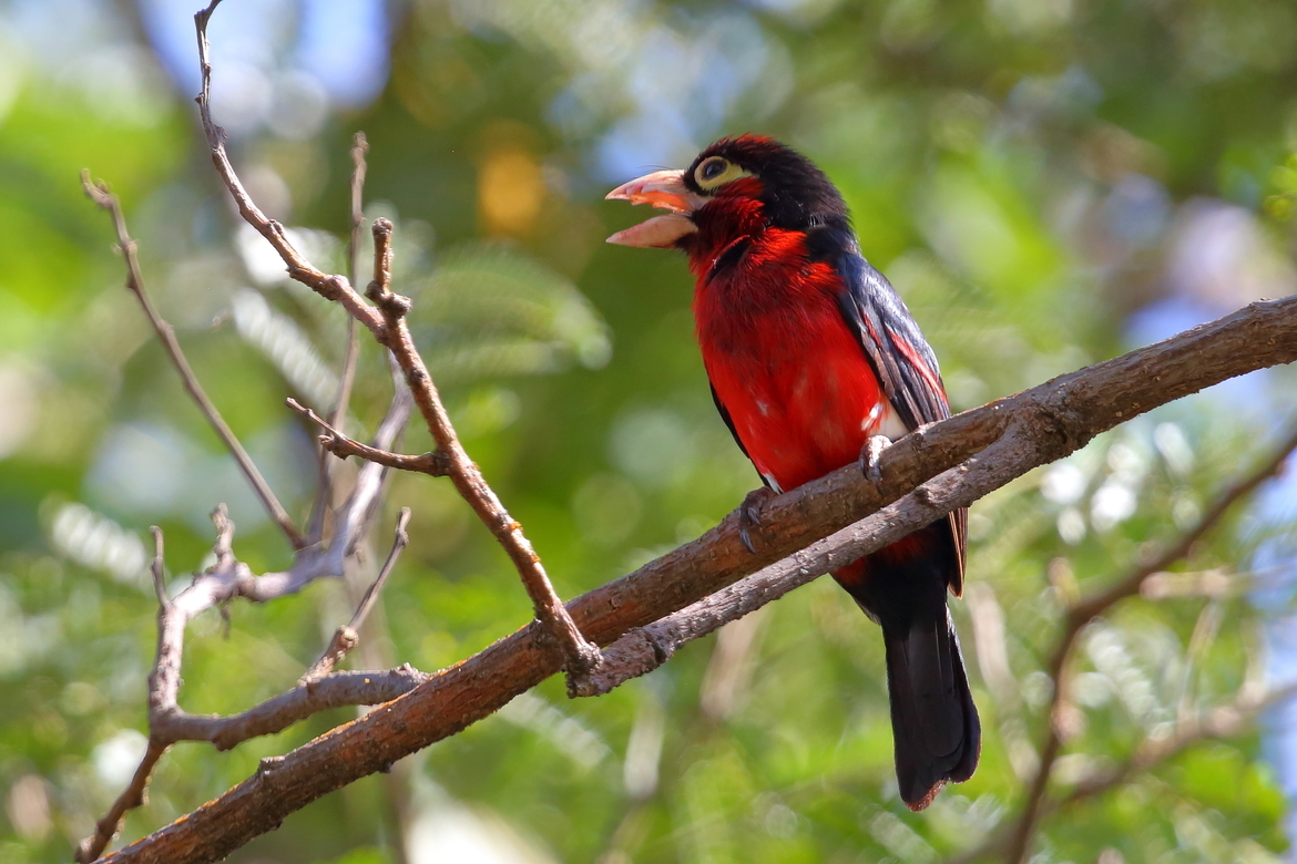 Double-toothed Barbet, Barbet, Birding,