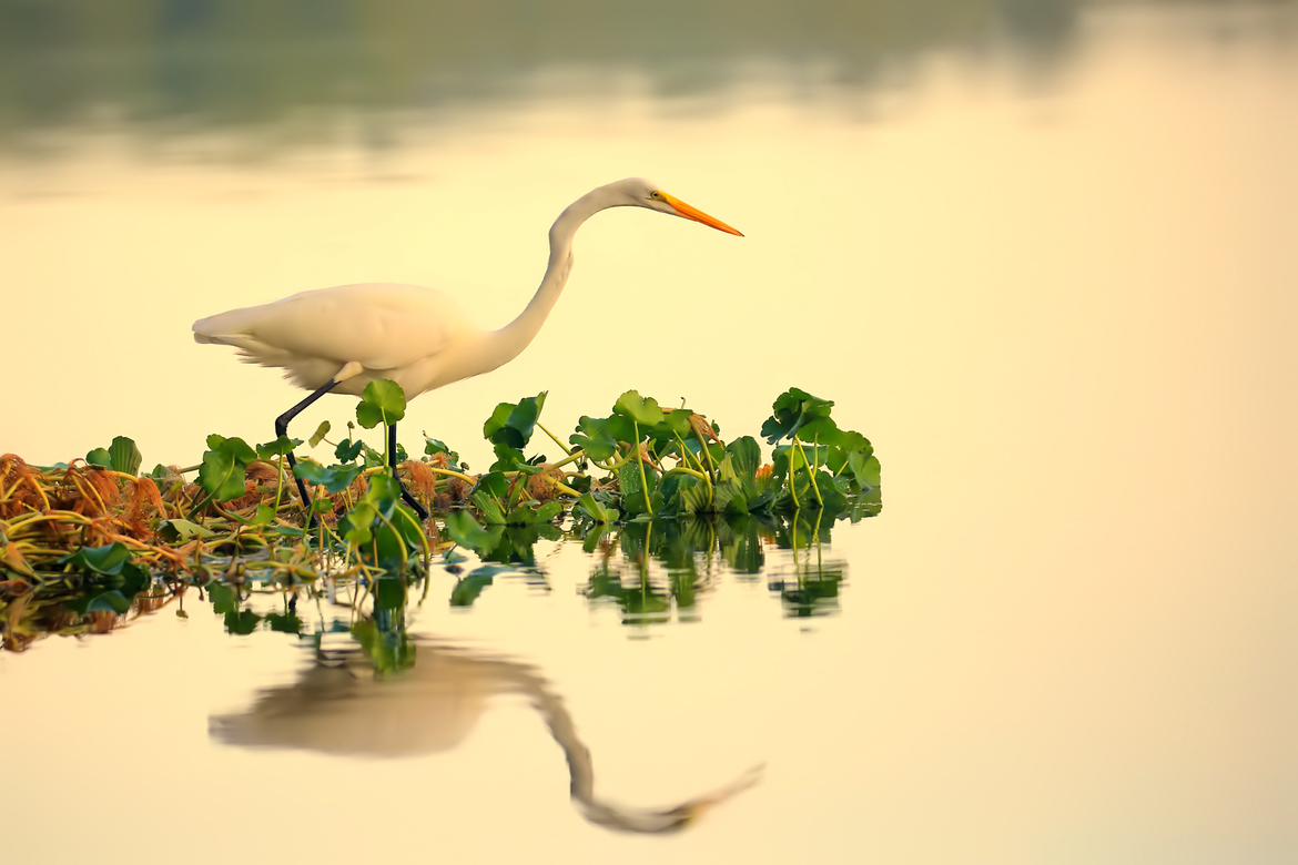 Birding, Egret, Great Egret, Egrets, Great Egrets, Florida, Egret Photos, Great Egret Images