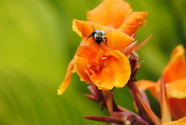 Bee, Bees, Bumblebee, Bumblebees, Alabama, Images of Bumblebees, Bumblebee Photos